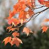 Maple Orange