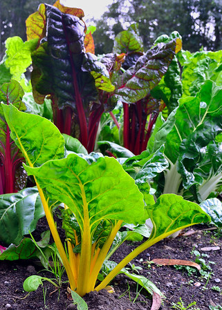 Monday morning, we strolled through Mendocino Coast Botanical Gardens.  They have vegetable gardens, too.
