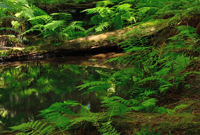 More ferns and reflections, Montgomery Woods SR.
