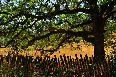 Beautiful old oak and weathered fence on Comptche-Ukiah Road, about 25 miles east of Mendocino.