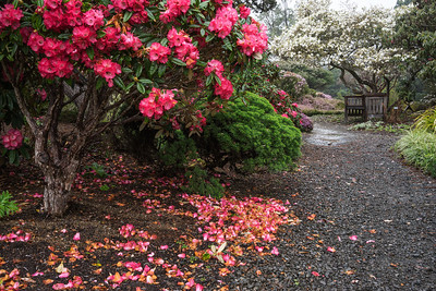 It's not quite spring here in Mendocino, but it is the season for rhododendrons!  The Mendocino Coast Botanical Gardens has quite the rhodo display.