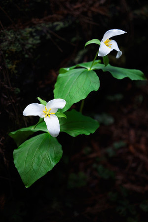 The trilliums in the deep woods are blooming now.