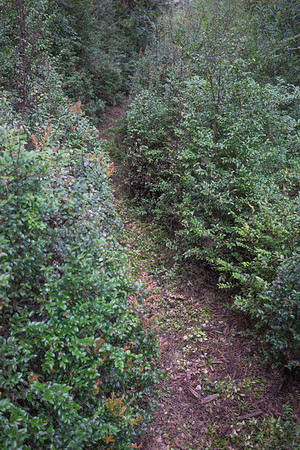 The trimmed-up path through the huckleberries.