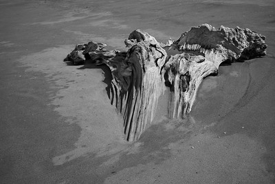 A beautiful redwood stump exposed in the sand.