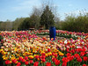 EcoTulip farm - the only certified organic tulip farm in the USA!