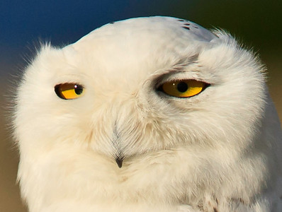 Snowy owl, closeup