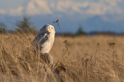Snowy Owl at Damon Point, Ocean Shores, Washington