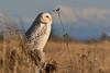 Snowy Owl at Damon Point, Ocean Shores, Washington
