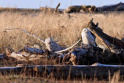Pair of Snowy Owls at Damon Point, Ocean Shores, Washington