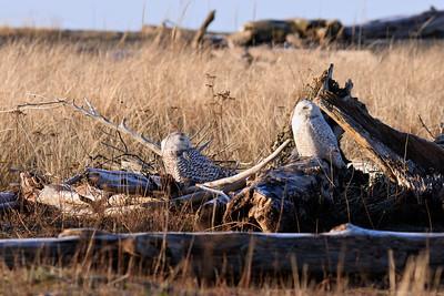 Pair of Snowy Owls at Damon Point, Ocean Shores, Washington