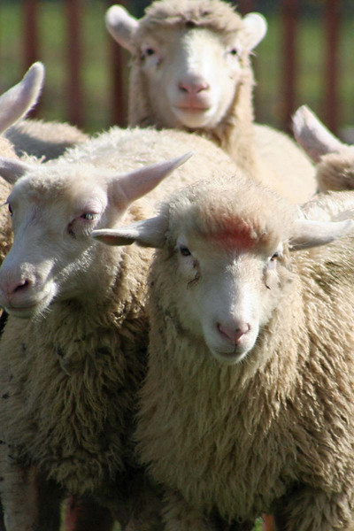 annalisepetphoto sheep IMG_0445