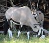 Gemsbok - Oryx