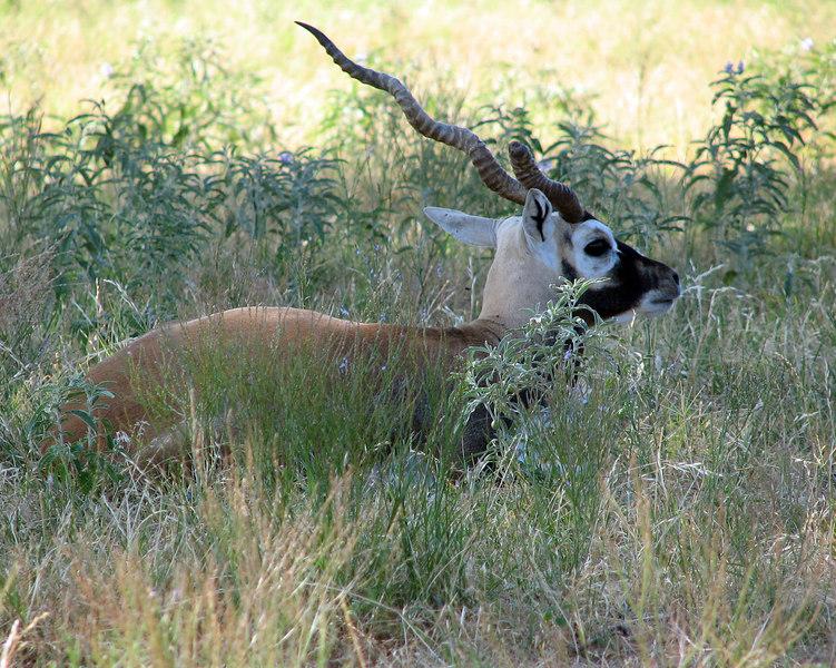 Blackbuck - Antilope
