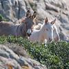 Asini nel Parco Nazionale dell'Asinara