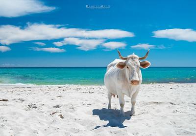 Vacca sulla spiaggia di Berchida - Siniscola