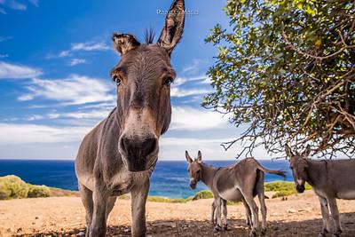 Asini nel Parco Nazionale dell'isola dell'Asinara