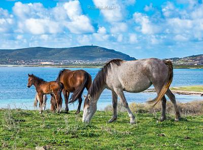 Cavalli sulle rive dell'Isola dell'Asinara