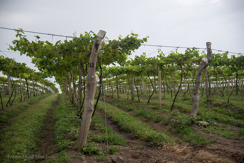 "<p style=""color:#F4F2F5""></p><h4> Angolan vineyard!</h4>"
