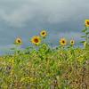 10  Langs zonnebloemen