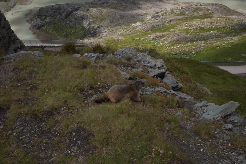 Murmeltier of Alpenmarmot