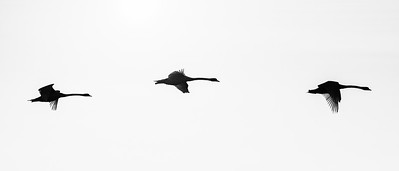 Zwanen | Swans