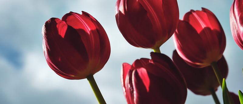 Tulpen #2