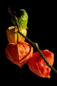 Chinese lantern flowers [#025]