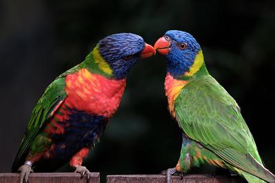 Papegaai(en) | Parrots