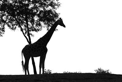 Silhouette - Giraffe