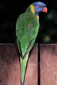 Papegaai | Parrot