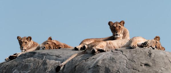 Groep leeuwen (pride)