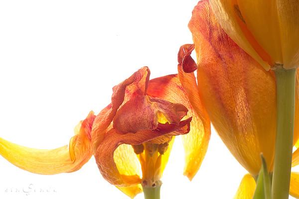 El tiempo sobre los tulipanes