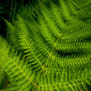 Dreamer ferns #04