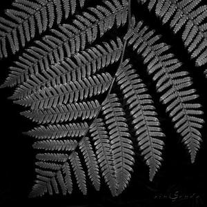 Dreamer ferns #09