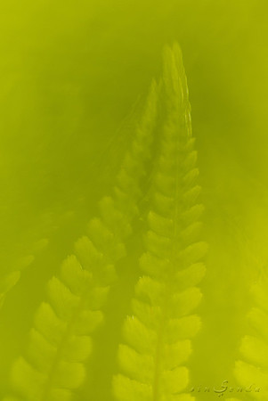 Dreamer ferns #02