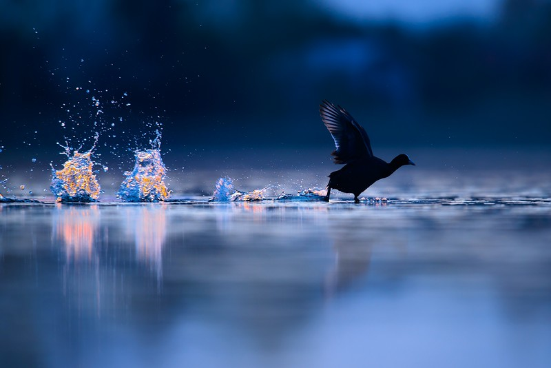 """Łyska.<br /> Zdjęcie wybrane w preselekcji do finału """"Concours Photo du Festival de l'Oiseau et de la Nature"""" 2017<br /> Zdjęcie wyróżnione w konkursie """"Powrót do Natury"""" Gazety Wyborczej w 2017r<br /> ©Paweł Pawlak - Fotografia przyrodnicza"""