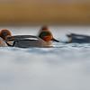 Cyraneczka ( Anas crecca)