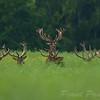 Zdjęcie finałowe  Konkursu Fotograficznego im. Włodzimierza Puchalskiego eksponowane na wystawie pokonkursowej w 2014<br /> <br /> Byki jelenia odpoczywające w czerwcowym rzepaku<br /> ©Paweł Pawlak