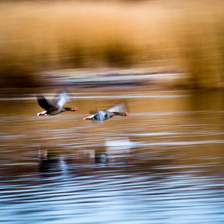 Gæs i flugt ved Gentofte sø apr 2011