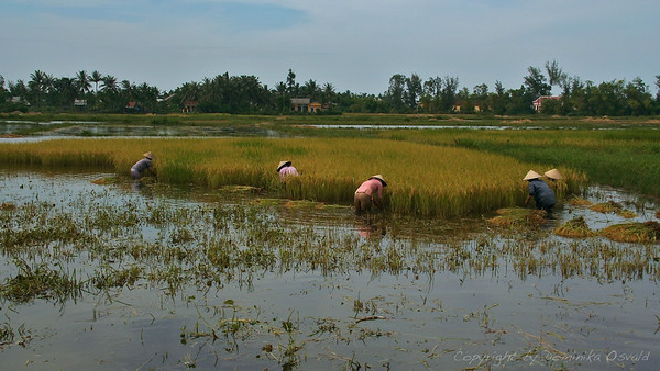 Hoi An, Vietnam (2006) - Žetev riža.