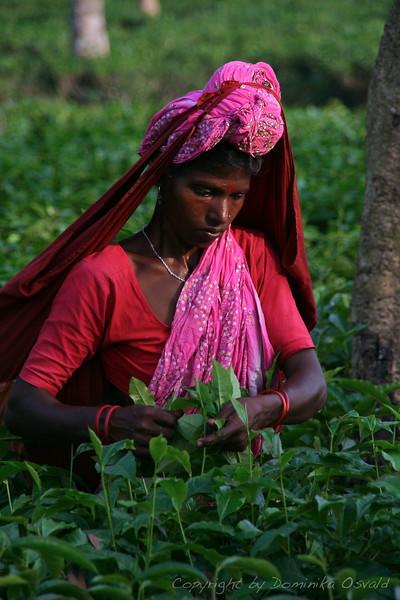 Srimangal, Bangladeš (2008) - Pobiranje čaja.