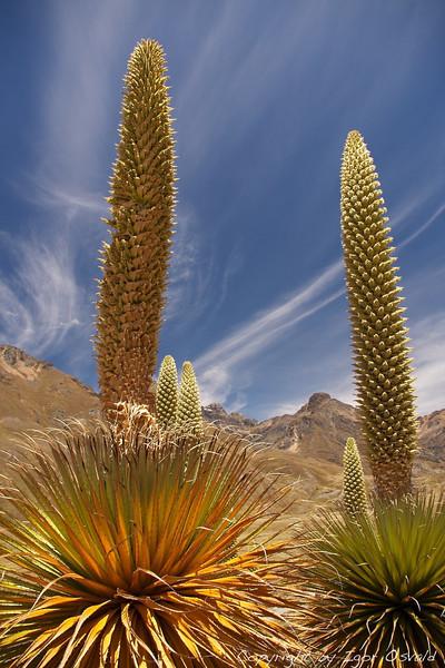 Pastoruri, Peru (2009) - Rože velikanke na ekstremni višini.