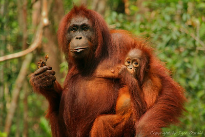 Tanjung Puting, Kalimantan, Indonezija (2007) - Nežni materinski objem. Orangutani so 8 x močnejši od človeka. Kako nemogoče se je izpuliti iz njihovega prijema sem občutil na svoji koži. Tako kot me je grabila orangutanka, me res še ni nobena druga.