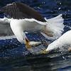 Platz_01_7,91_K1600_41_Reiner_Dillenburg_Silbermoewen kaempfen um einen Fisch