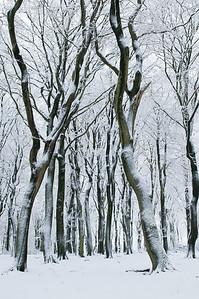 2008 11 24 Beuken sneeuw 013