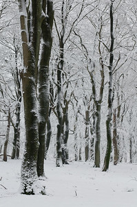 2008 11 24 Beuken sneeuw 004