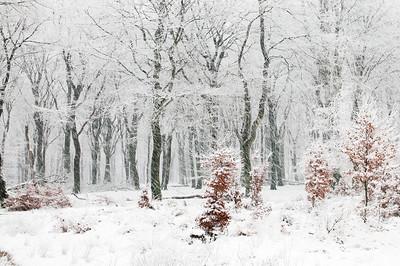 2008 11 23 Beuken sneeuw 022