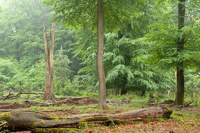 2009-06-07 Beuken Gortel voorjaar regen  008