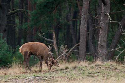 GR 21 09 2015 Bronst hert burlen hubertus 014