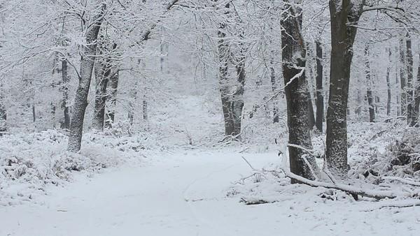 Zwijnen in de sneeuw